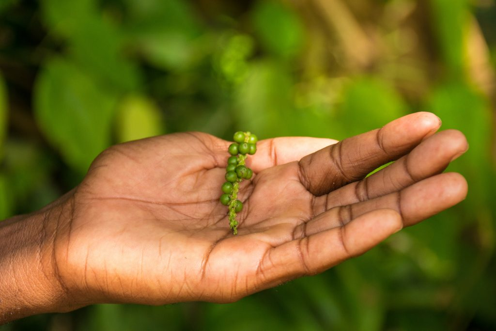 Pepper at the spices farm - 10 reasons to visit Zanzibar.